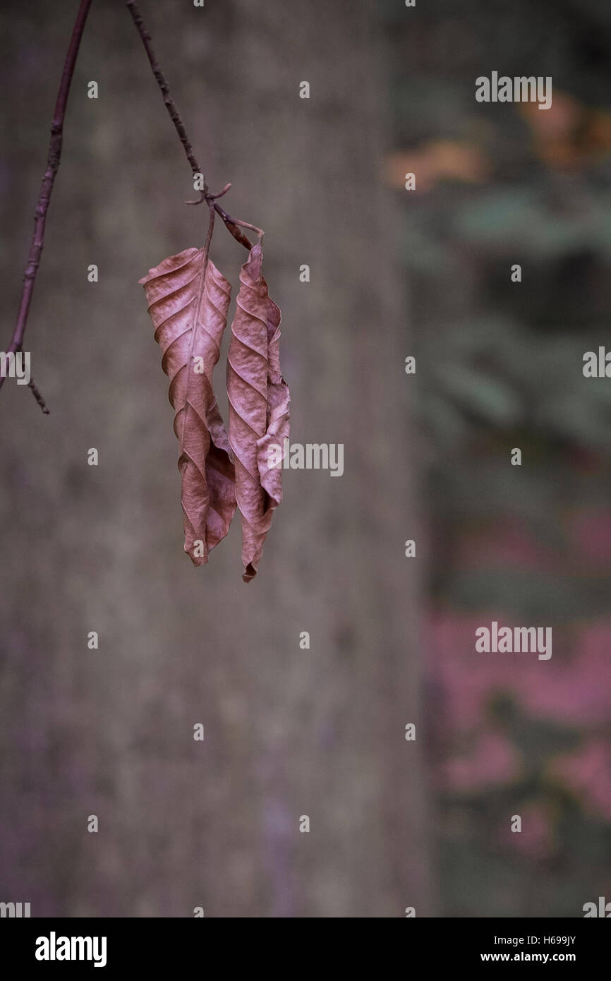 Dead Beech tree leaves in a woodland in Cornwall. - Stock Image