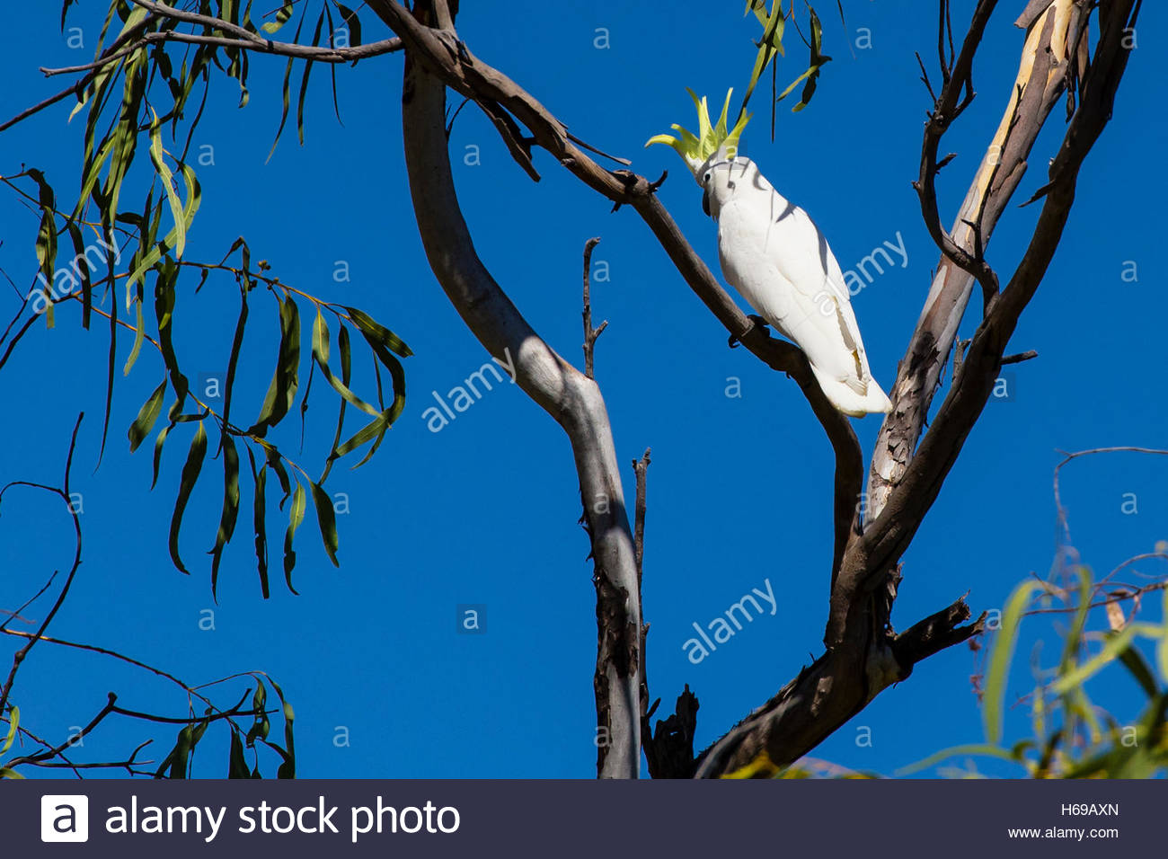 A Sulpher-crested Cockatoo (Cacatua galerita) perched on a branch near Ord River in the Kimberley Region of Northwest - Stock Image