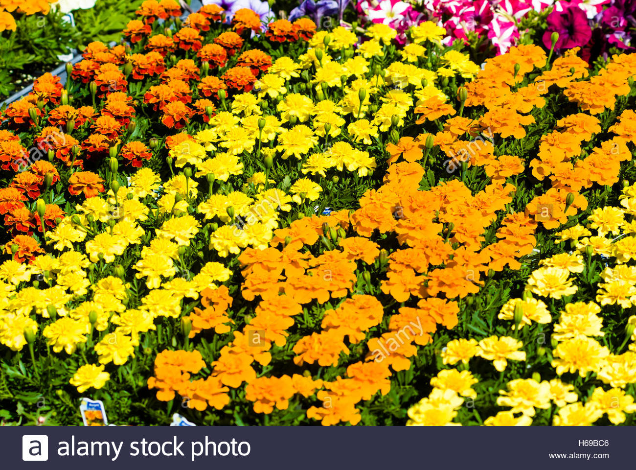 235f48ec283 Flats of colorful marigold flowers for sale at the Leola Flower Auction,  Lancaster County, Pennsylvania,