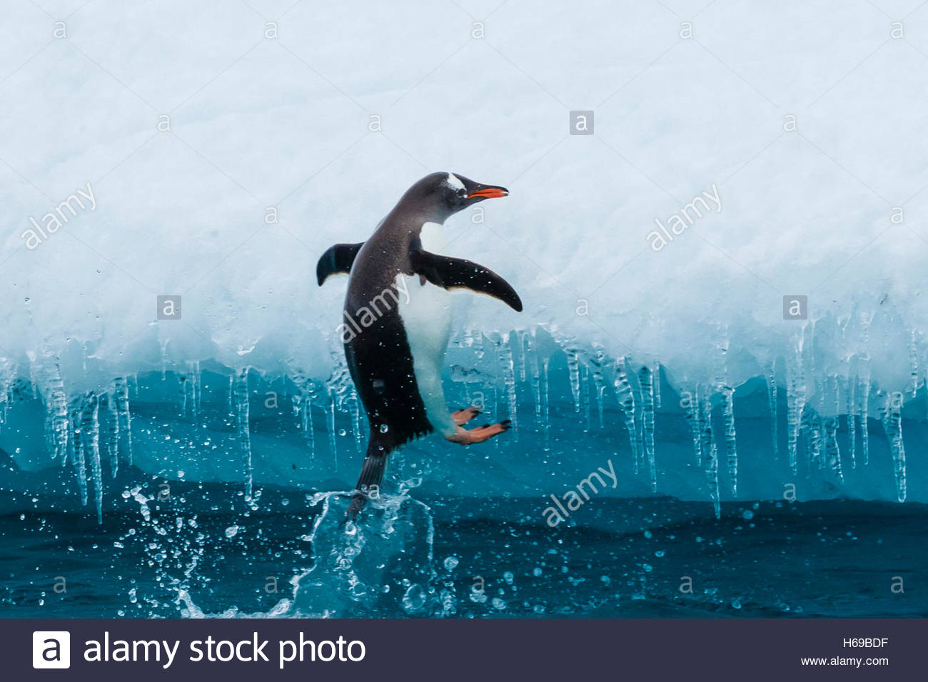A Gentoo Penguin climbs onto an Iceberg on Cuverville Island in the Gerlach Strait, Antarctica. - Stock Image