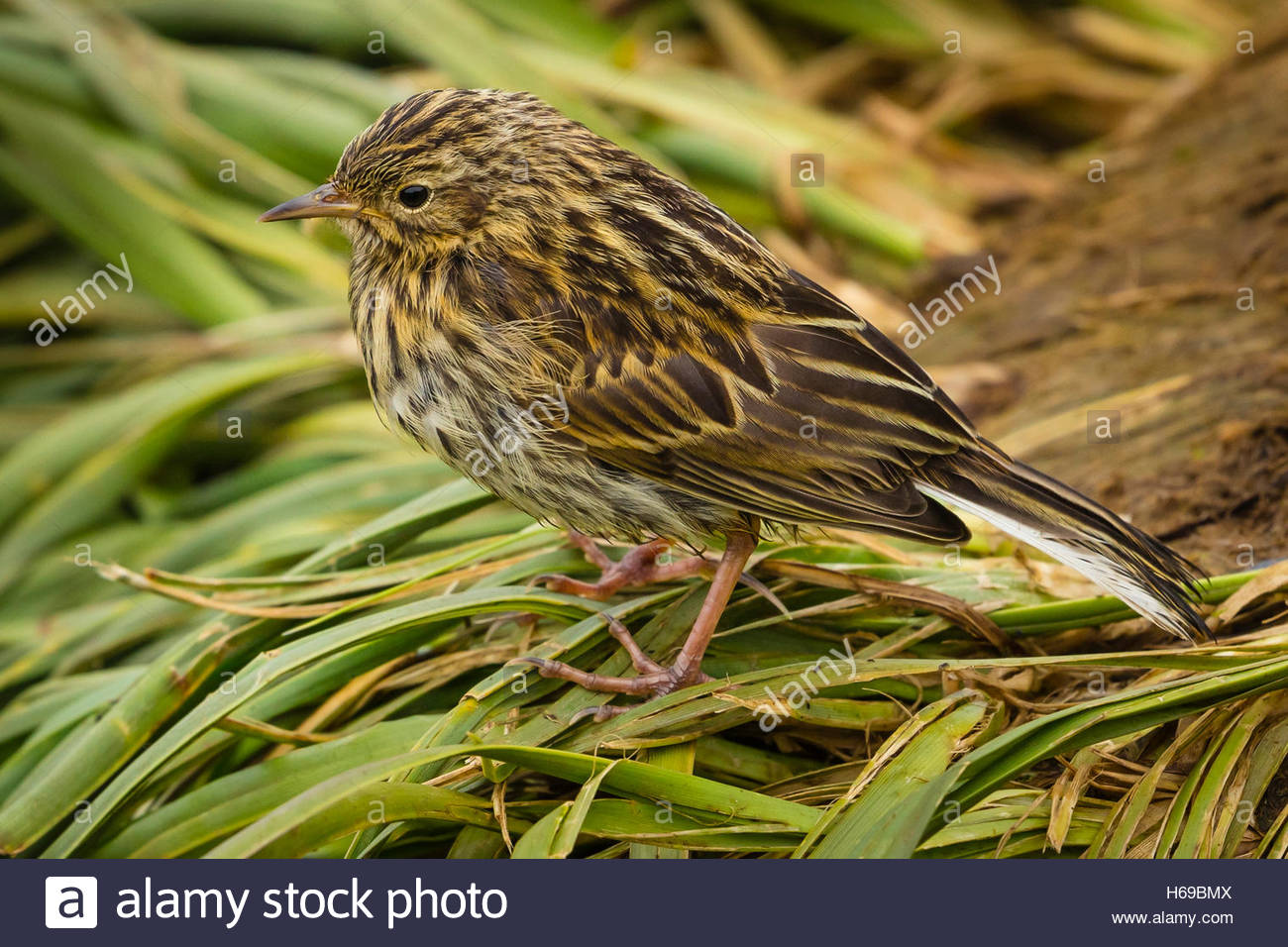 A South Georgia Pipit, an endangered bird, on Prion Island in South Georgia, Antarctica. - Stock Image