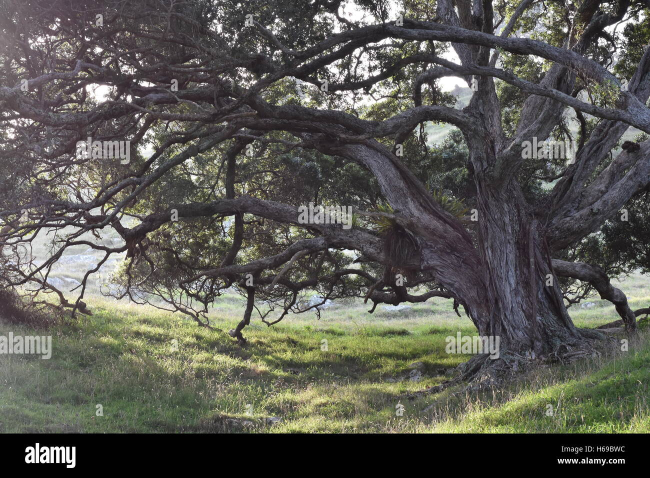 Gnarled trees in valley with back light creating dark shadows - Stock Image