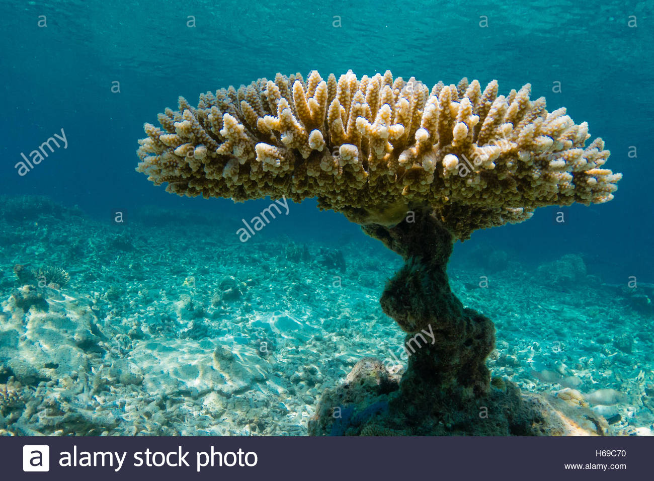 Underwater view of a coral pedestal. - Stock Image