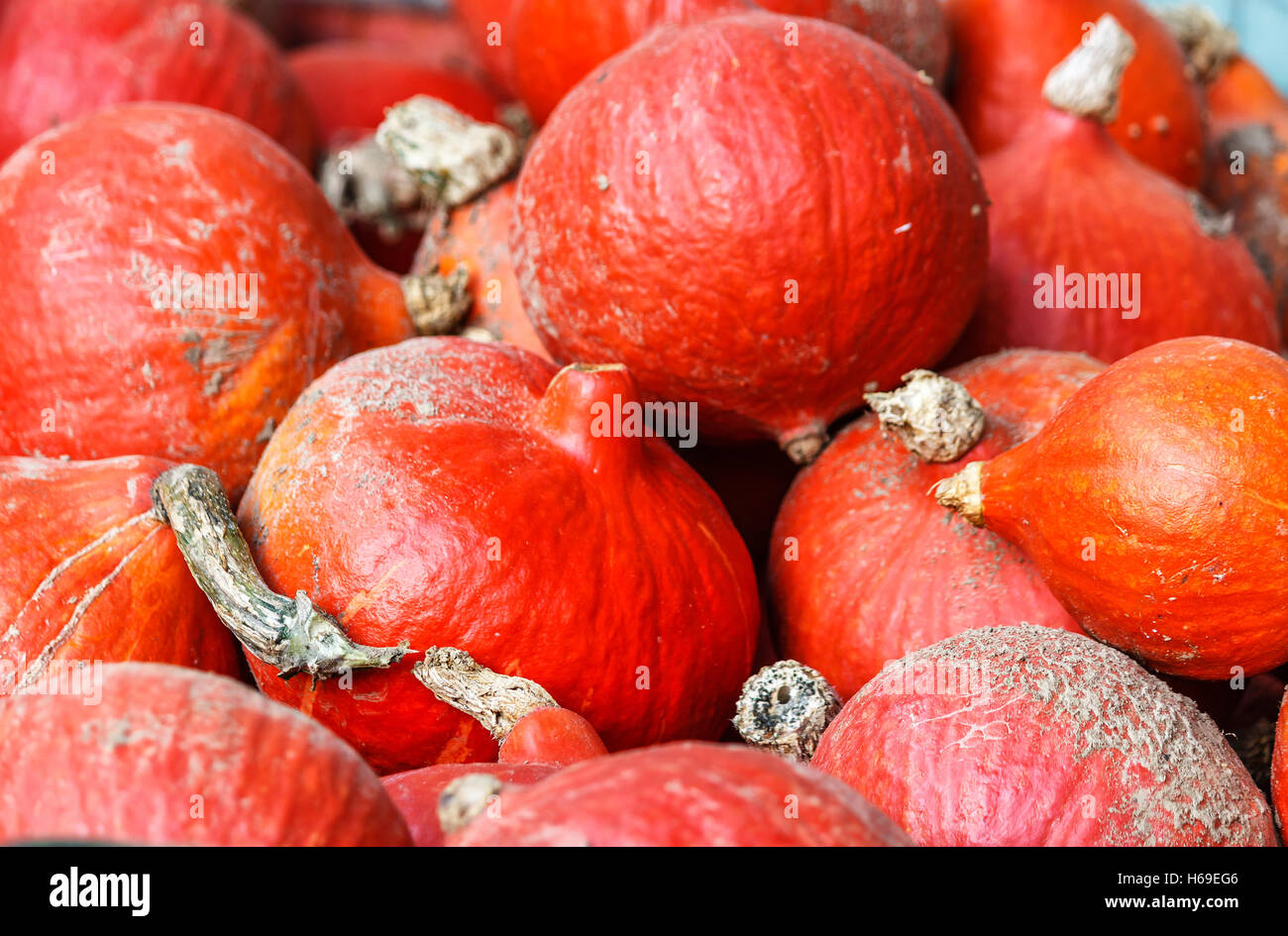Freshly harvested red kuri squash Stock Photo
