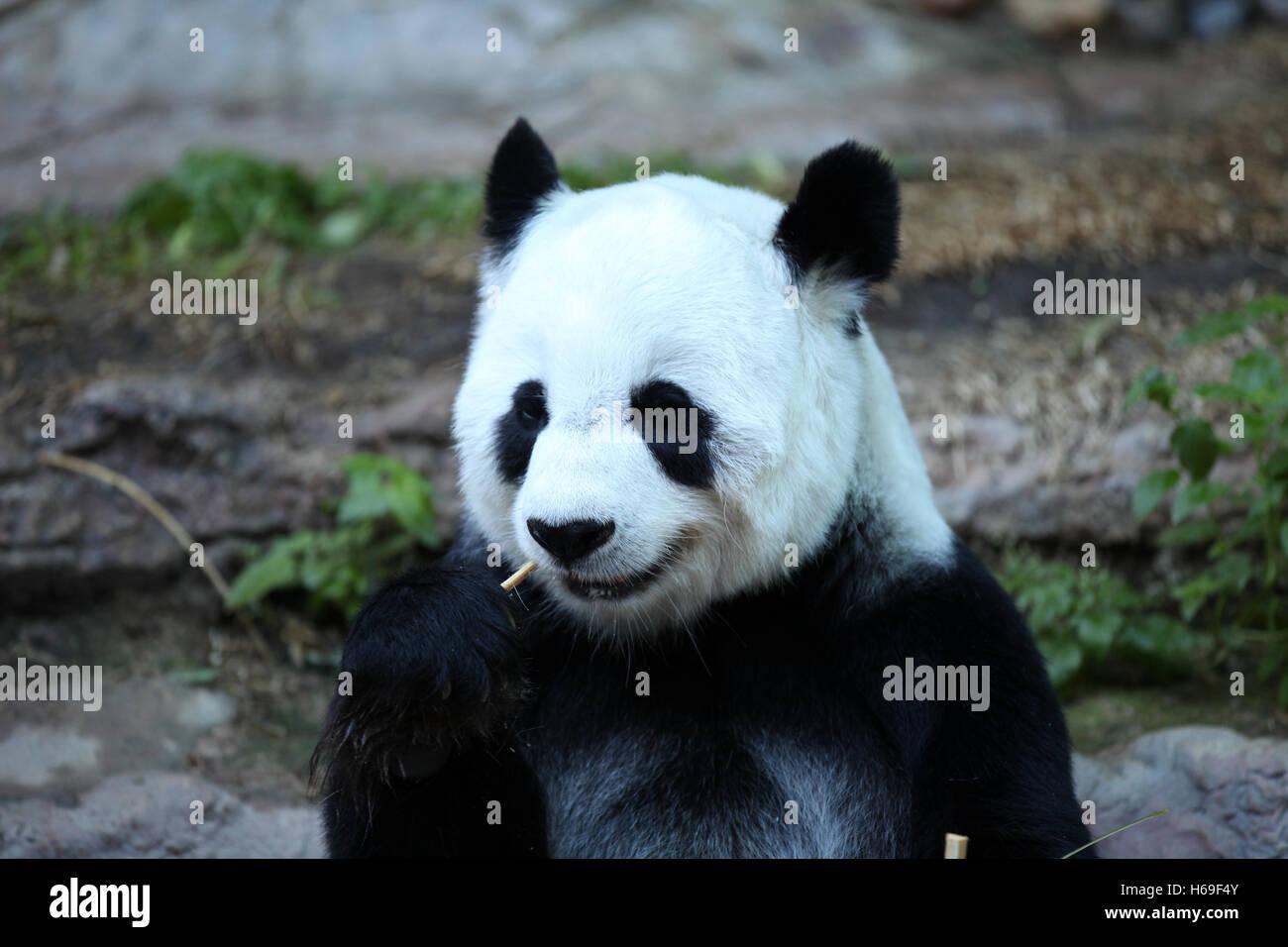 bamboo bear or a giant panda, Thailand, Southeast Asia - Stock Image