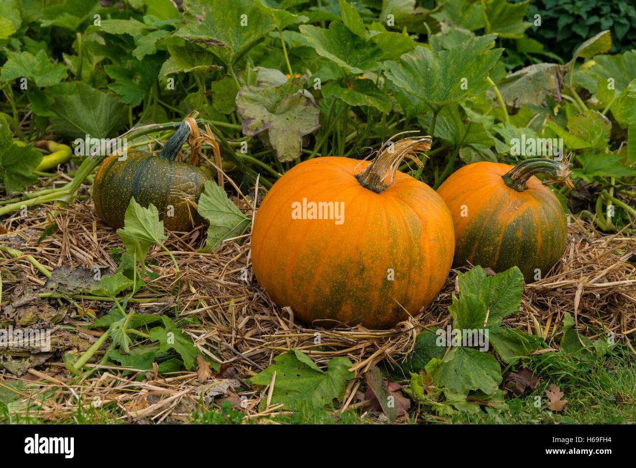 pumpkins growning in garden - Stock Image