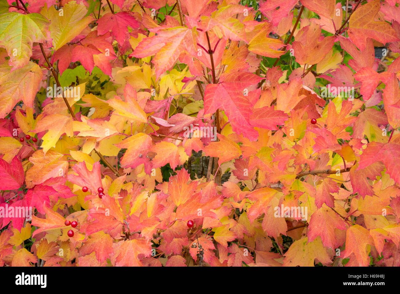 Autumn Colours Close Up Of A Maple Bush North Yorkshire Uk Stock