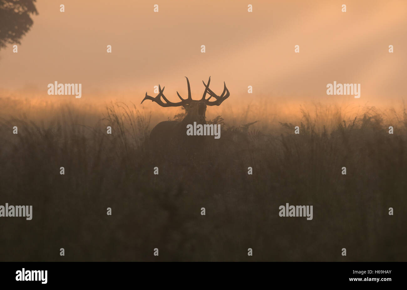 Red Deer(Stag)- Cervus elaphus bellowing  at sunrise during the rutting season. Uk - Stock Image