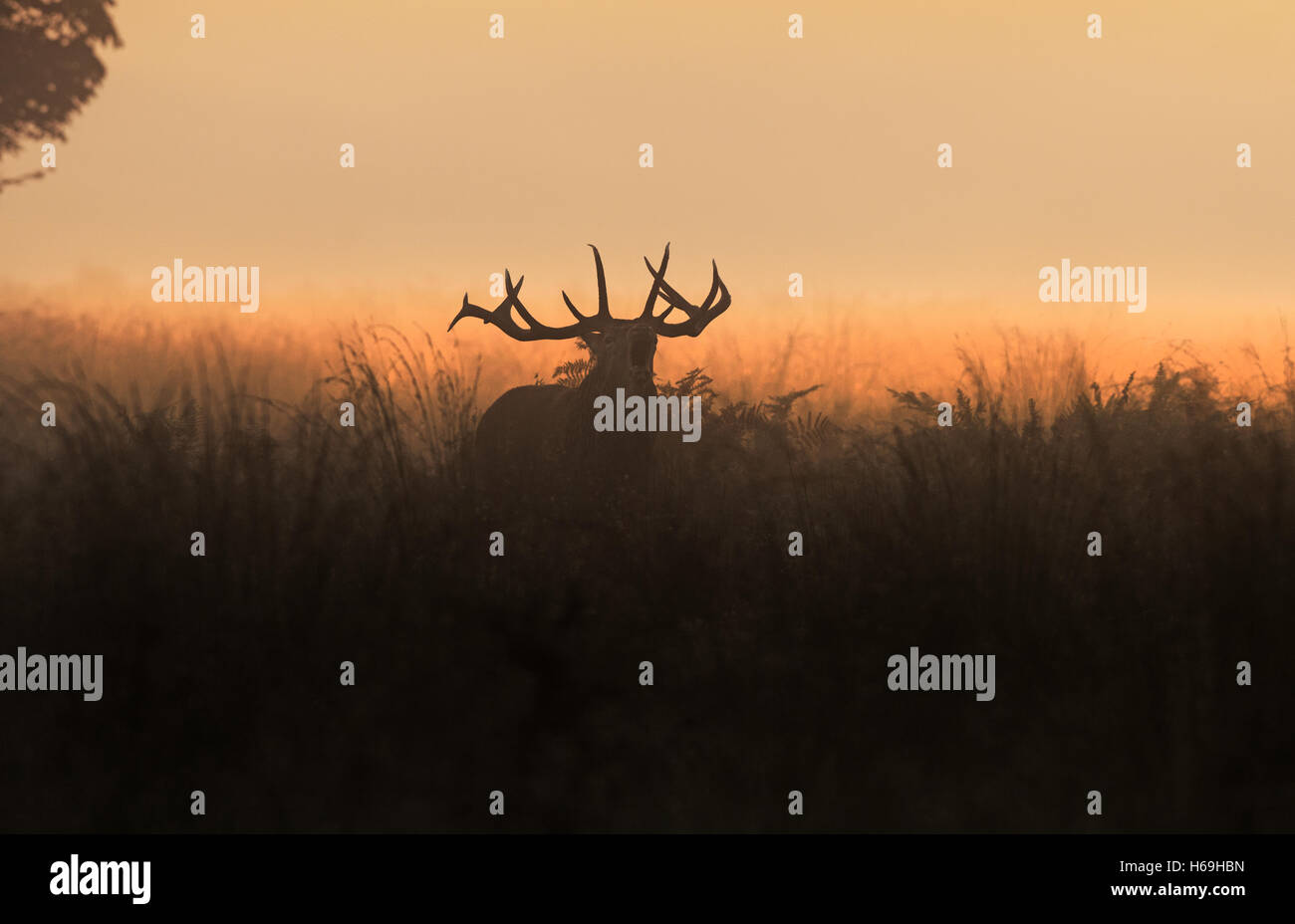 Red Deer (Stag) -Cervus elaphus, bellows at sunrise during the rutting season. Scotland. - Stock Image