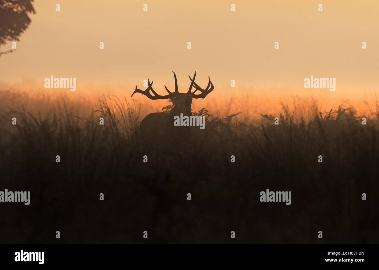 Red Deer (Stag) -Cervus elaphus, bellows at sunrise during the rutting season. Scotland. - Stock Image