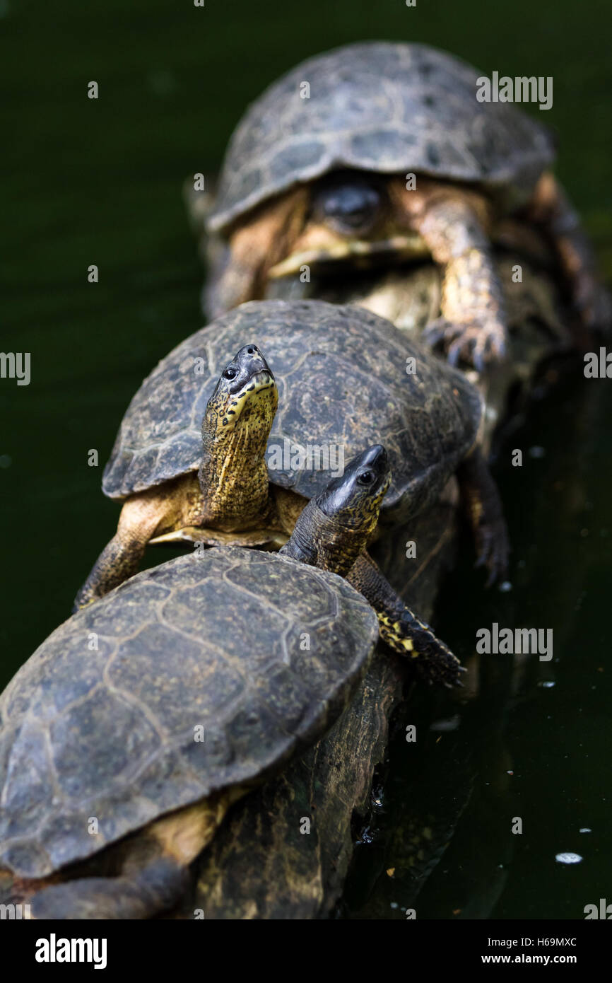 close up of a group of turtles sunbathing on a log in Costa Rica - Stock Image