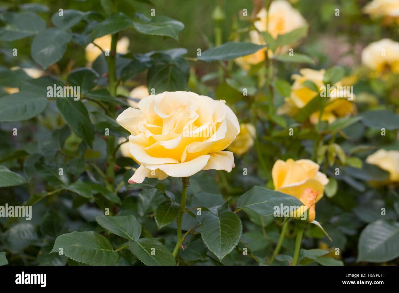 Rosa Glorious Interictira. Yellow shrub rose in an English garden. - Stock Image