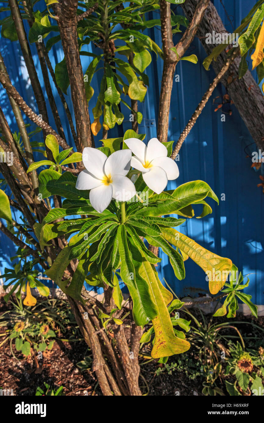White plumeria flower growing in key west florida this flower is white plumeria flower growing in key west florida this flower is popular for flower necklaces or leis in hawaii mightylinksfo