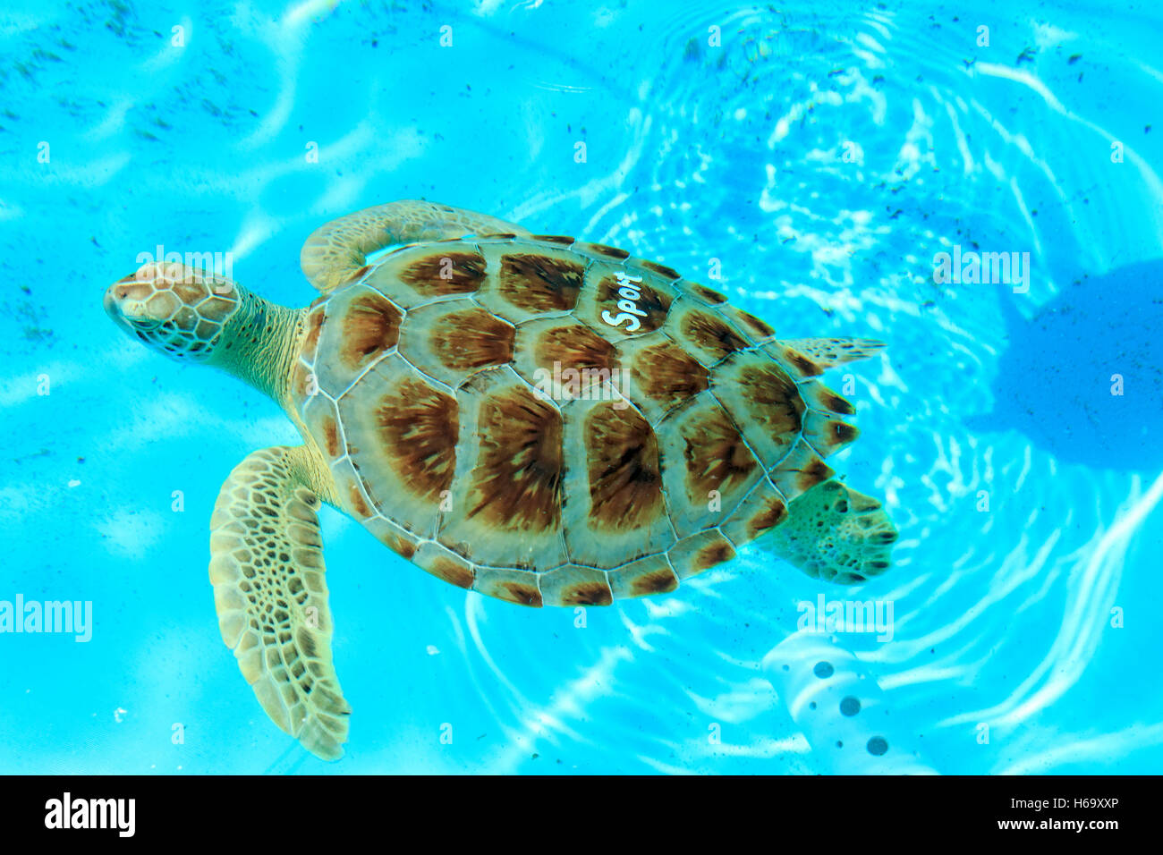 Rescued turtle at the Turtle Hospital in Marathon, Florida. The hospital rescues sick and injured turtles - Stock Image