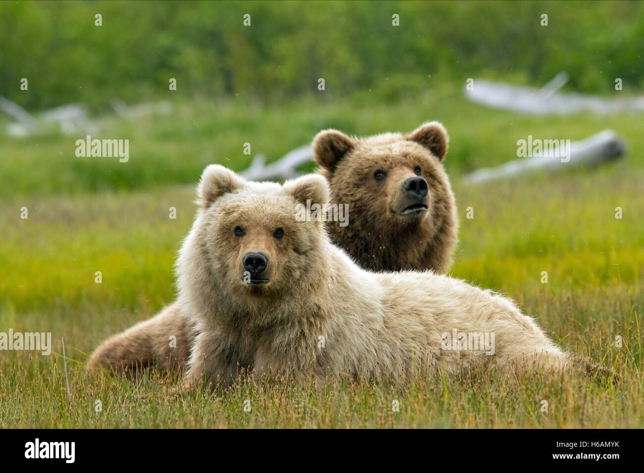 BEARS BEARS (2014) - Stock Image