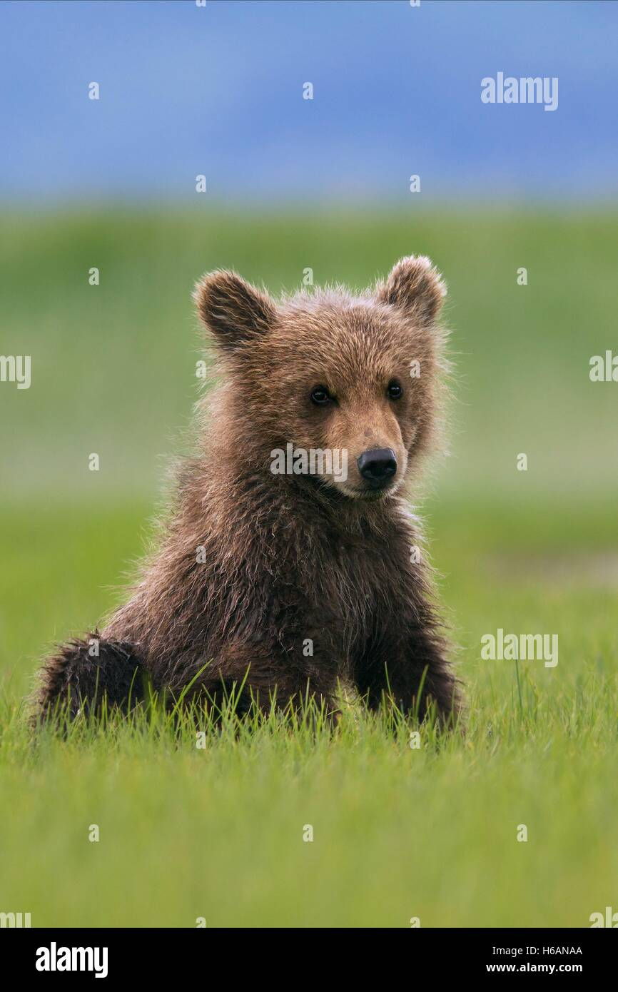 CUBS BEARS (2014) - Stock Image