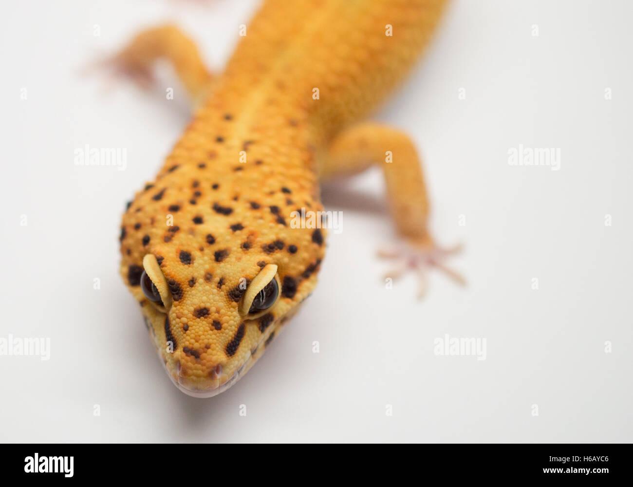 Male Leopard Gecko Stock Photos & Male Leopard Gecko Stock