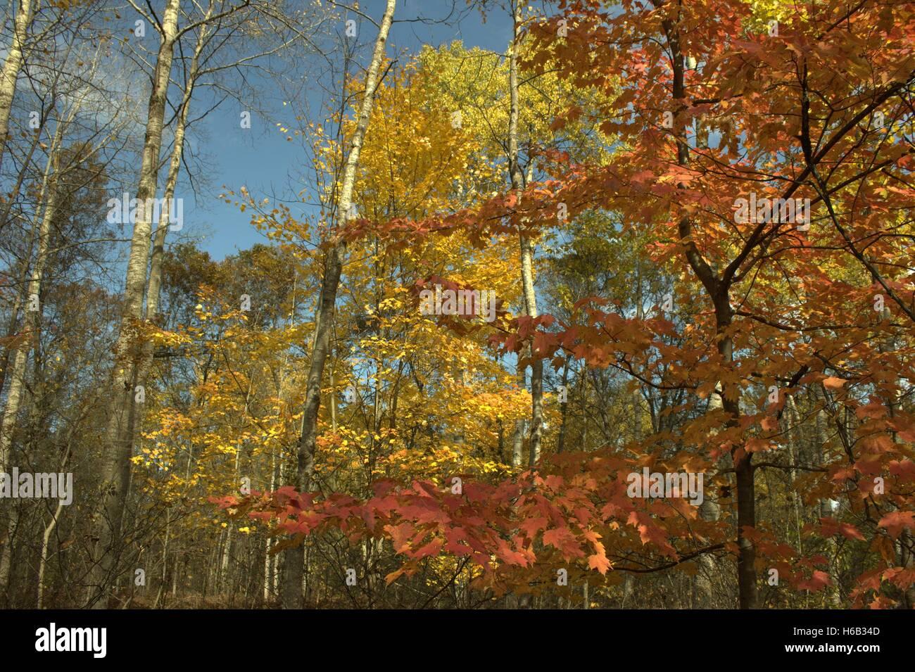 Poplar Trees Leaves Stock Photos & Poplar Trees Leaves ... | 1300 x 955 jpeg 284kB