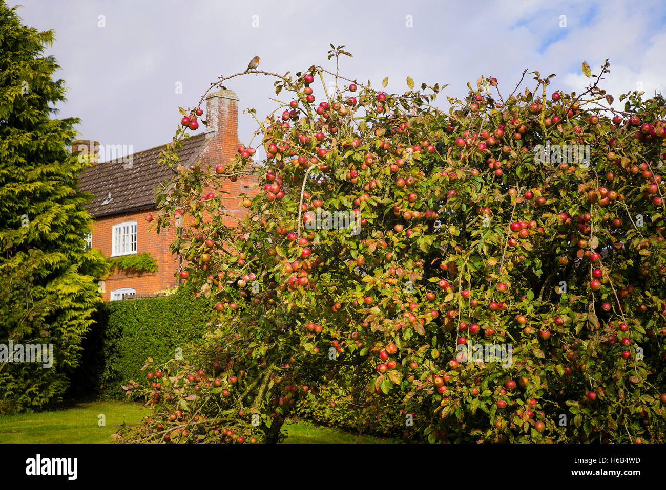 A fruit tree laden with ripe red Tydeman's Late Orange apples in a country garden in UK - Stock Image