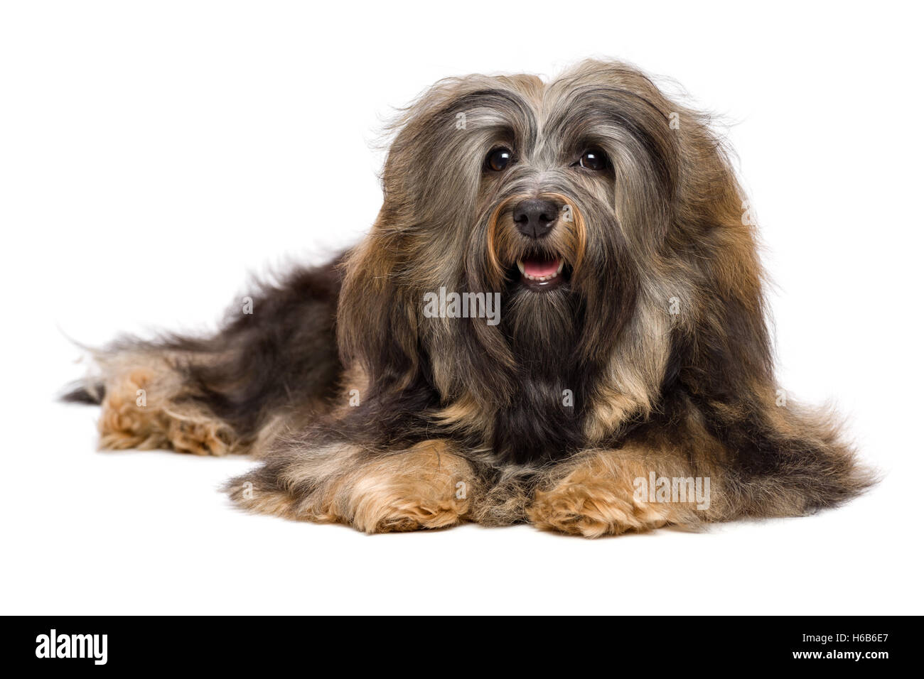 Beautiful lying long-haired Bichon Havanese dog - Stock Image