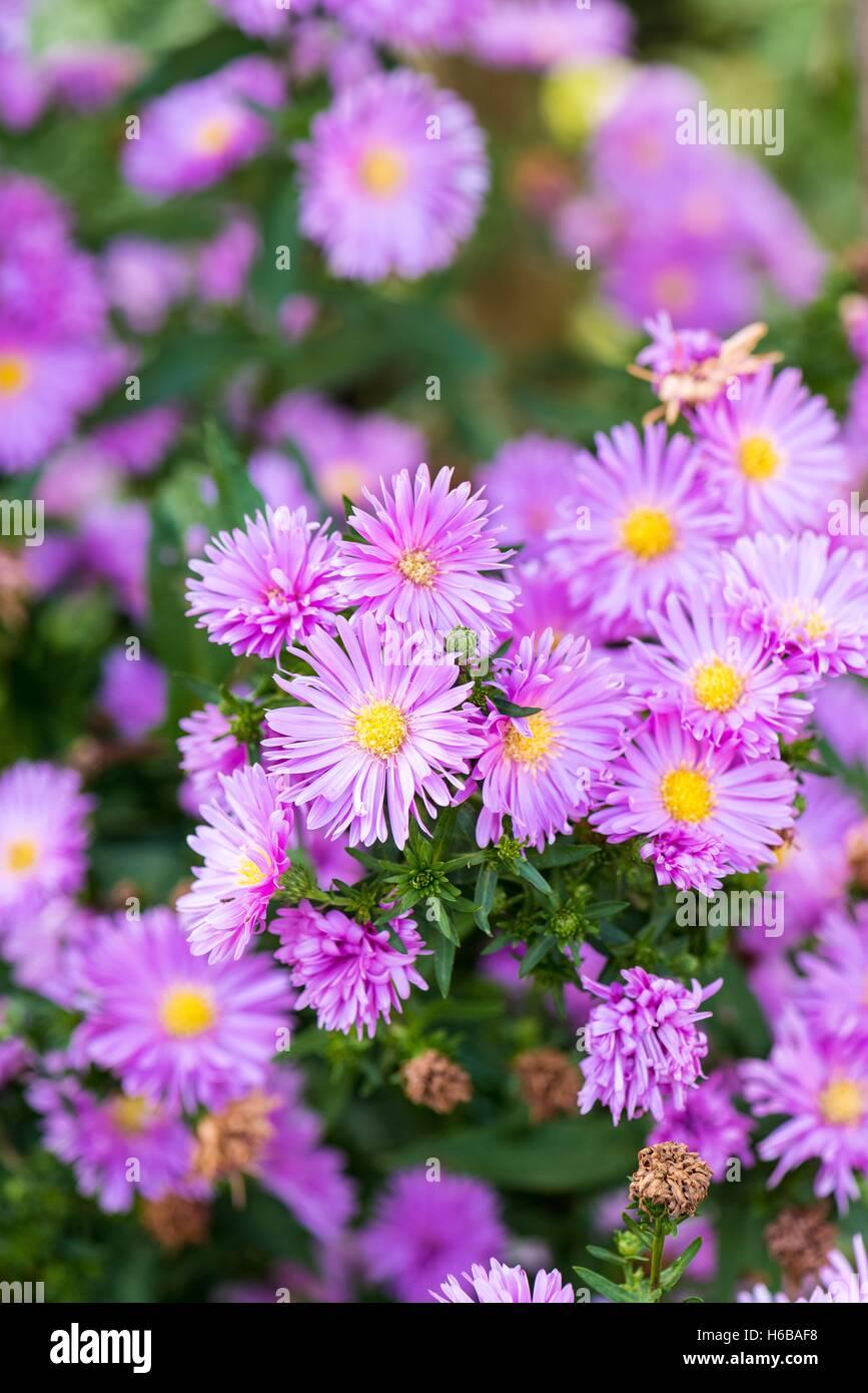 Aster 'Eventide' in flower garden - Stock Image