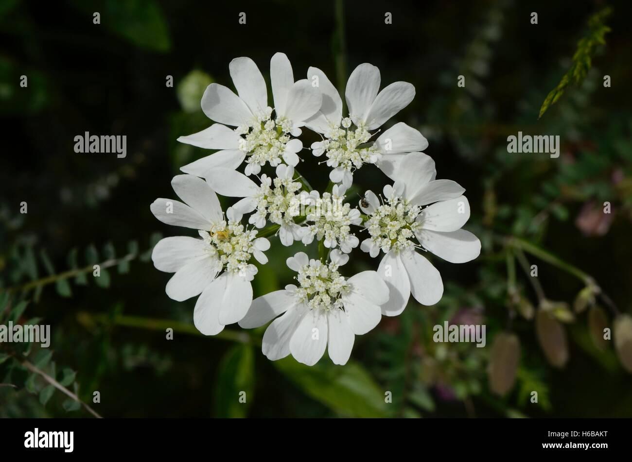 Orlaya (Orlaya grandiflora), Labeaume, Ardèche, France Stock Photo