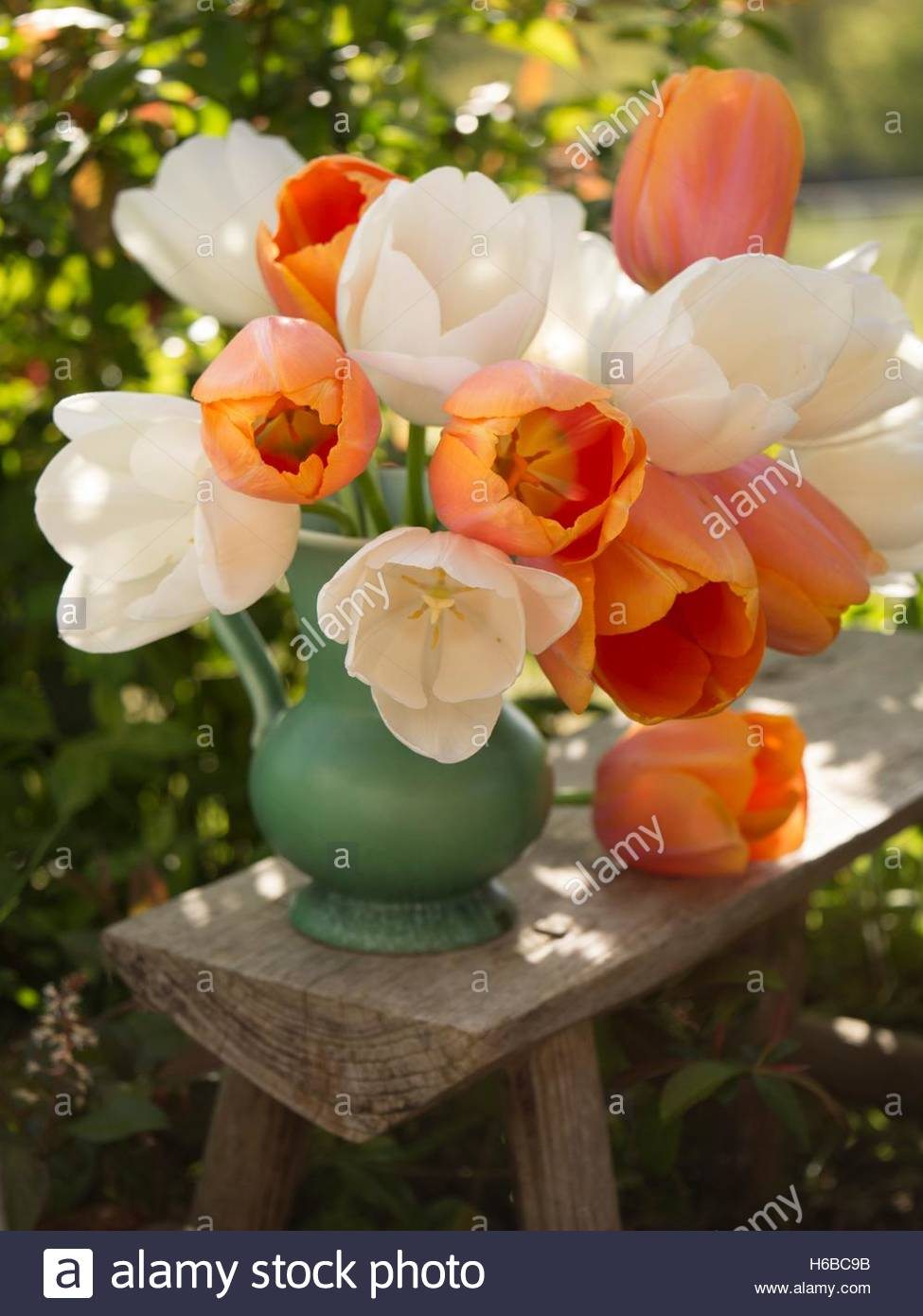 'Maureen' and 'Apricot Beauty' tulips bunch - Stock Image