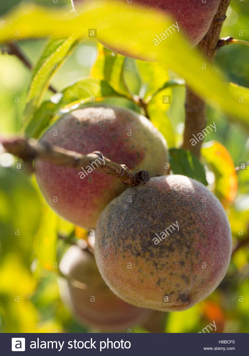 Black stains on wild peaches - Stock Image