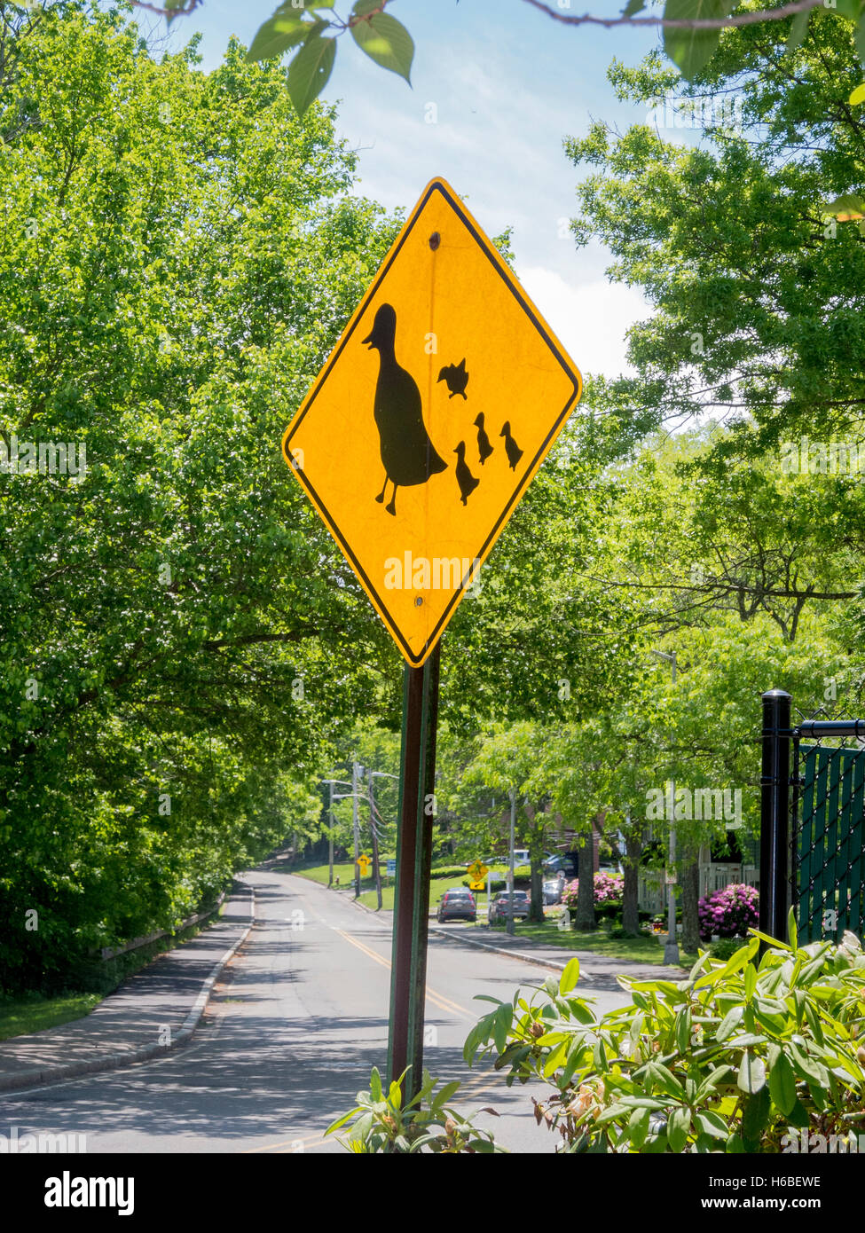 A yellow traffic sign warns motorists about ducks crossing a street in Wellesley, MA. - Stock Image