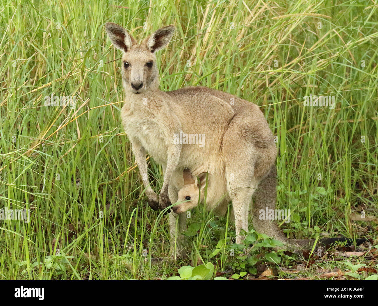 A Kangaroo mother pausing with her baby joey in her pouch. - Stock Image