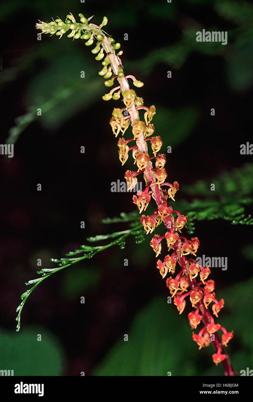 Malaxis Versicolour. Family: Orchidaceae. An interesting ground orchid found growing on lateritic boulders and rocks - Stock Image
