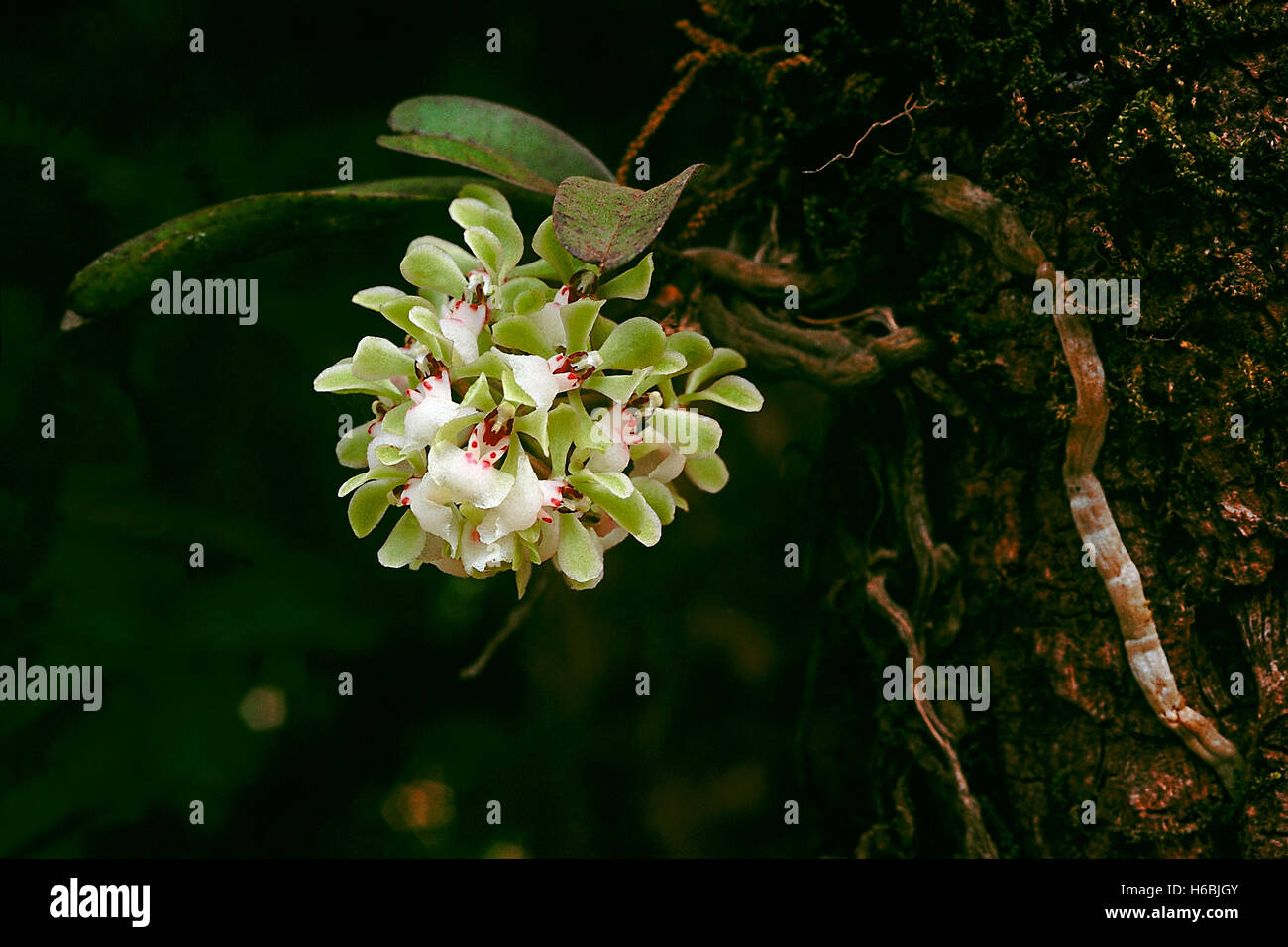 Aerides Dalzelliana. Family: Orchidaceae. A small epiphytic orchid found in the Western Ghats, India. - Stock Image
