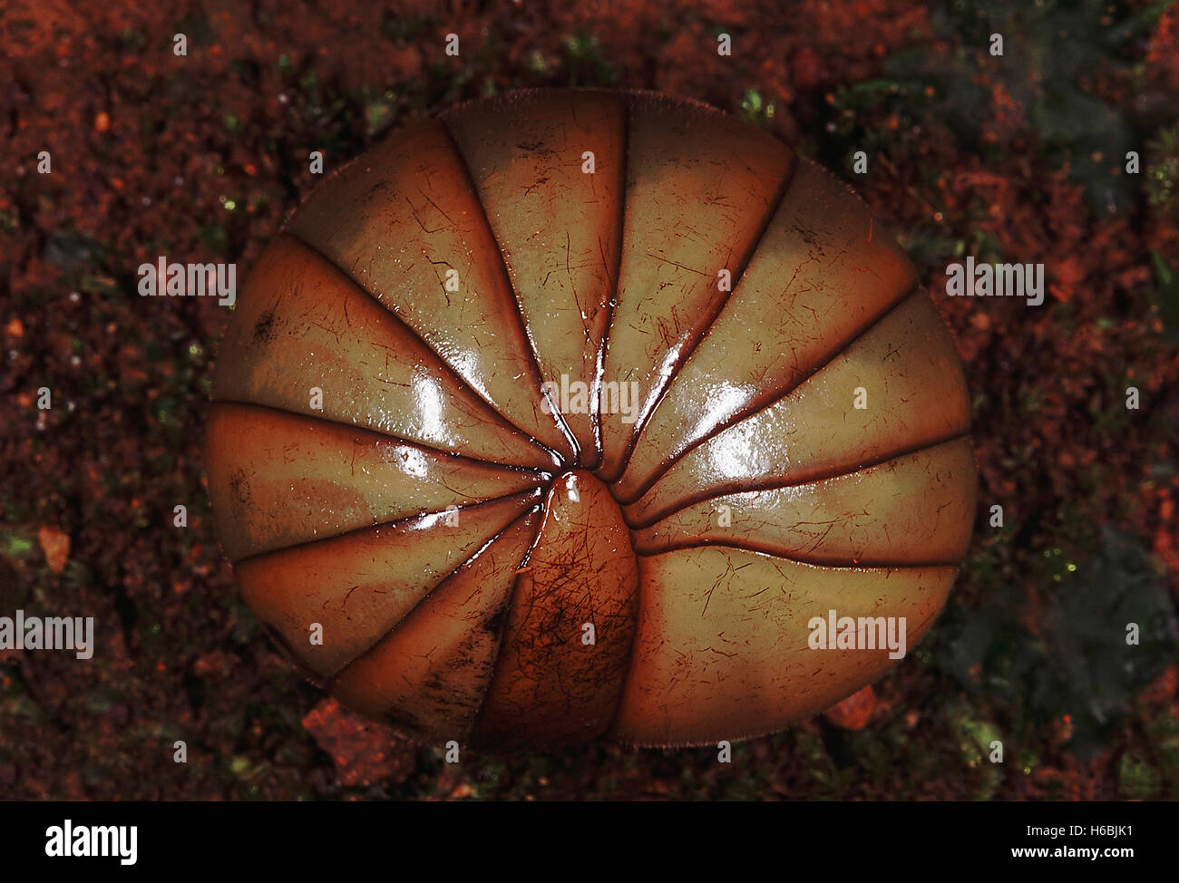 Pill Millipede. Family: Arthropod. Pill millipedes coil up like a round ball when disturbed - Stock Image