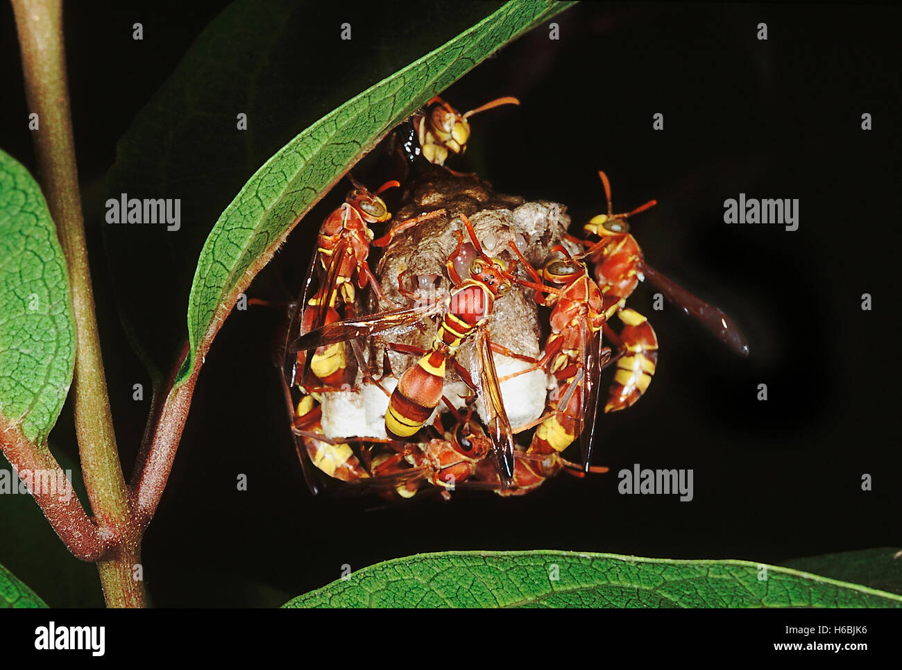 Hornets on nest. Family: Arthropod. Hornets are social insects which live together in a colony. The nest is made - Stock Image