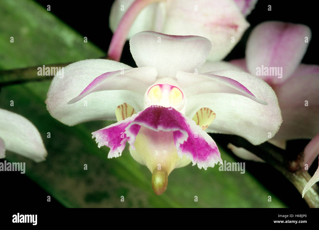 Aerides crispum. An epiphytic orchid with fragrant flowers found in the Western Ghats. - Stock Image