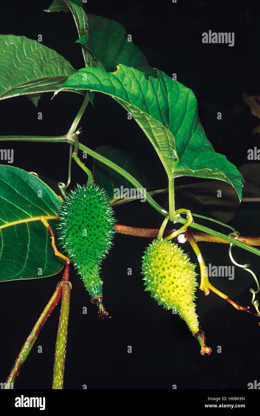 Momordica Dioica. Family: Cucurbitaceae. One of the well known wild vegetables of India - Stock Image