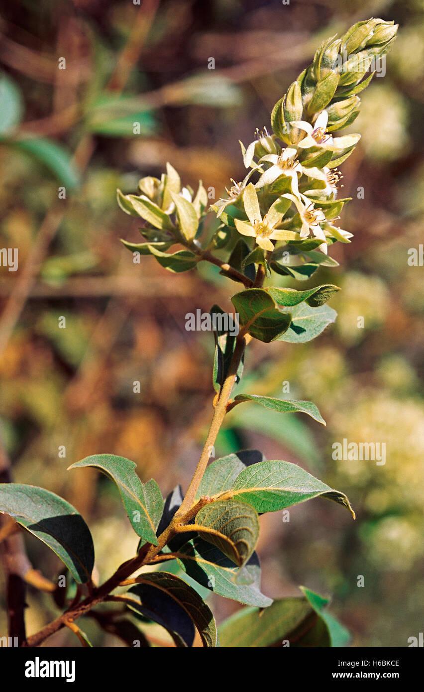 Calycopteris Floribunda. Family: Combretaceae. A large woody climber (Liana) mainly found in secondary deciduous - Stock Image