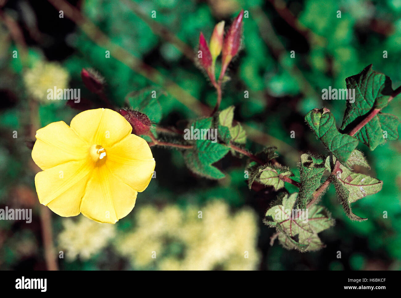 Merremia Vitifolia. Family: Convolvulaceae. A small annual climber related to the Morning Glory. - Stock Image