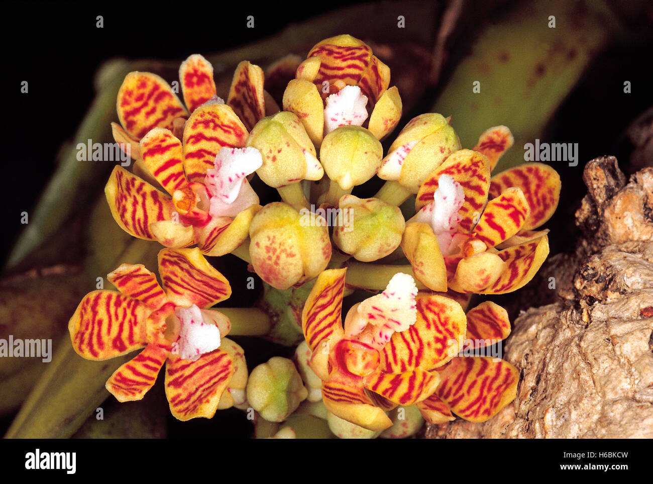 Acampe sp. Order: Orchidaceae. An epiphytic orchid. The flowers are small when compared to the size of the plant. - Stock Image