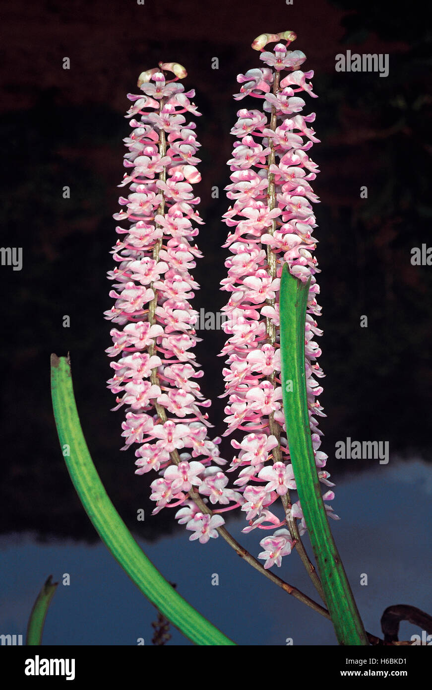 A well-known epiphytic orchid commonly known as the Foxtail orchid. Rhynchostylis Retusa. Family: Orchidaceae - Stock Image
