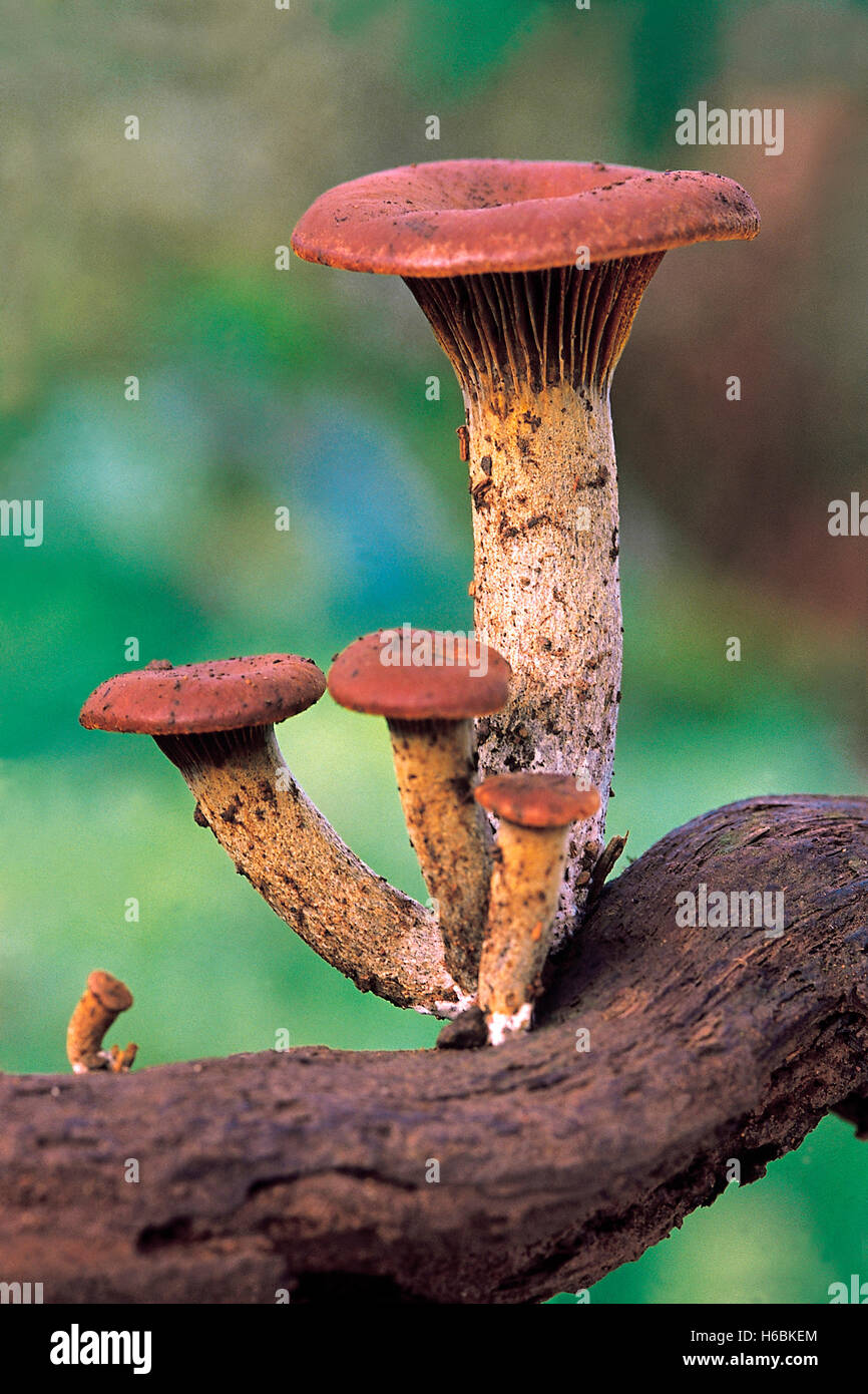 Class: Homobasidiomycetes. Series: Hymenomycetes. Order: Agaricales. A slide showing the caespitose (tufted) arrangement - Stock Image