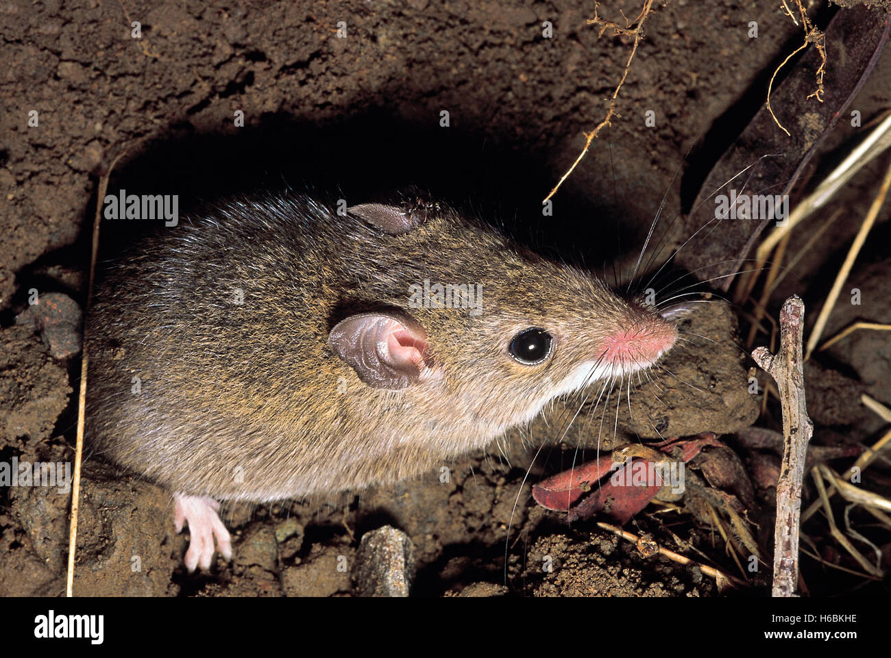 A field mouse Stock Photo