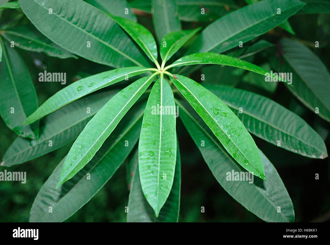 Alstonia Scholaris. Family: Apocyanaceae. The Devil's tree. An elegant evergreen tree with whorled foliage and branches. Accordi Stock Photo