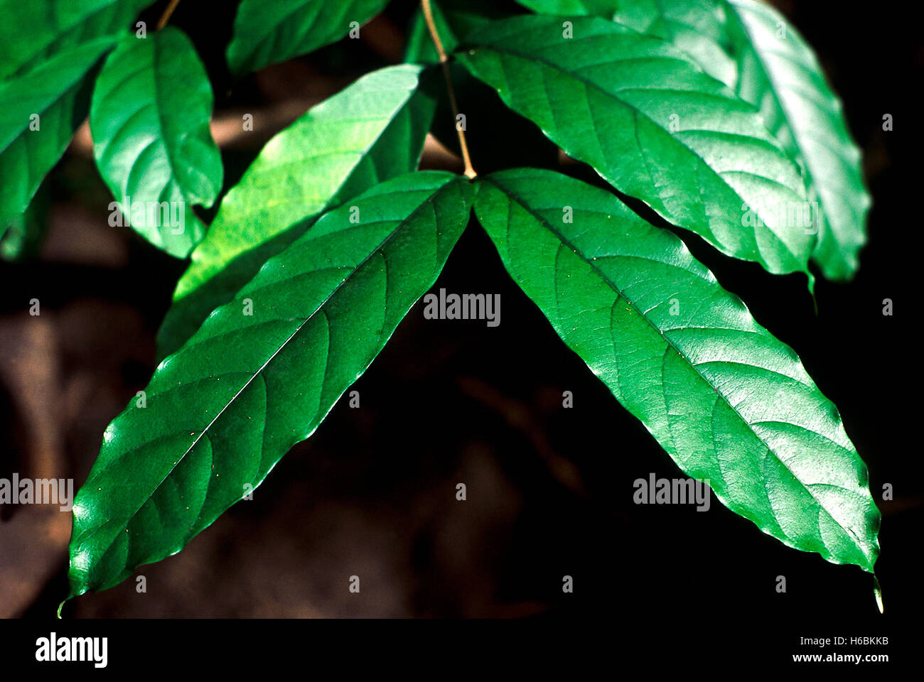 Leaves. Wrightia Arborea. Family: Apocyanaceae. A small tree with milky sap and leaves which used to be used as - Stock Image