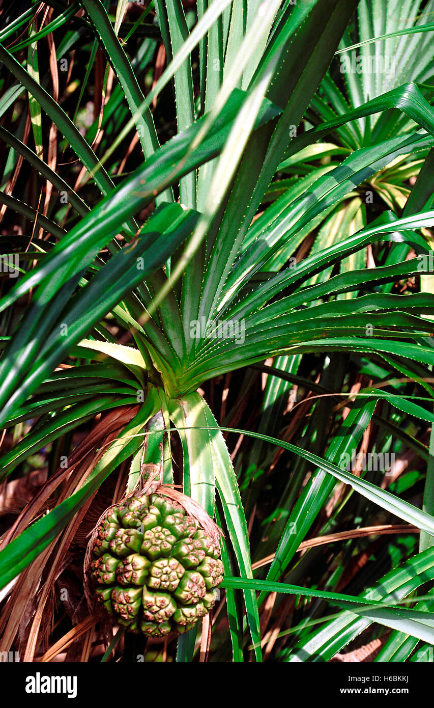 Fruit. Pandanus sp. The Screw pine. Family: Pandanaceae. A medium-sized tree that grows along the seashores above - Stock Image