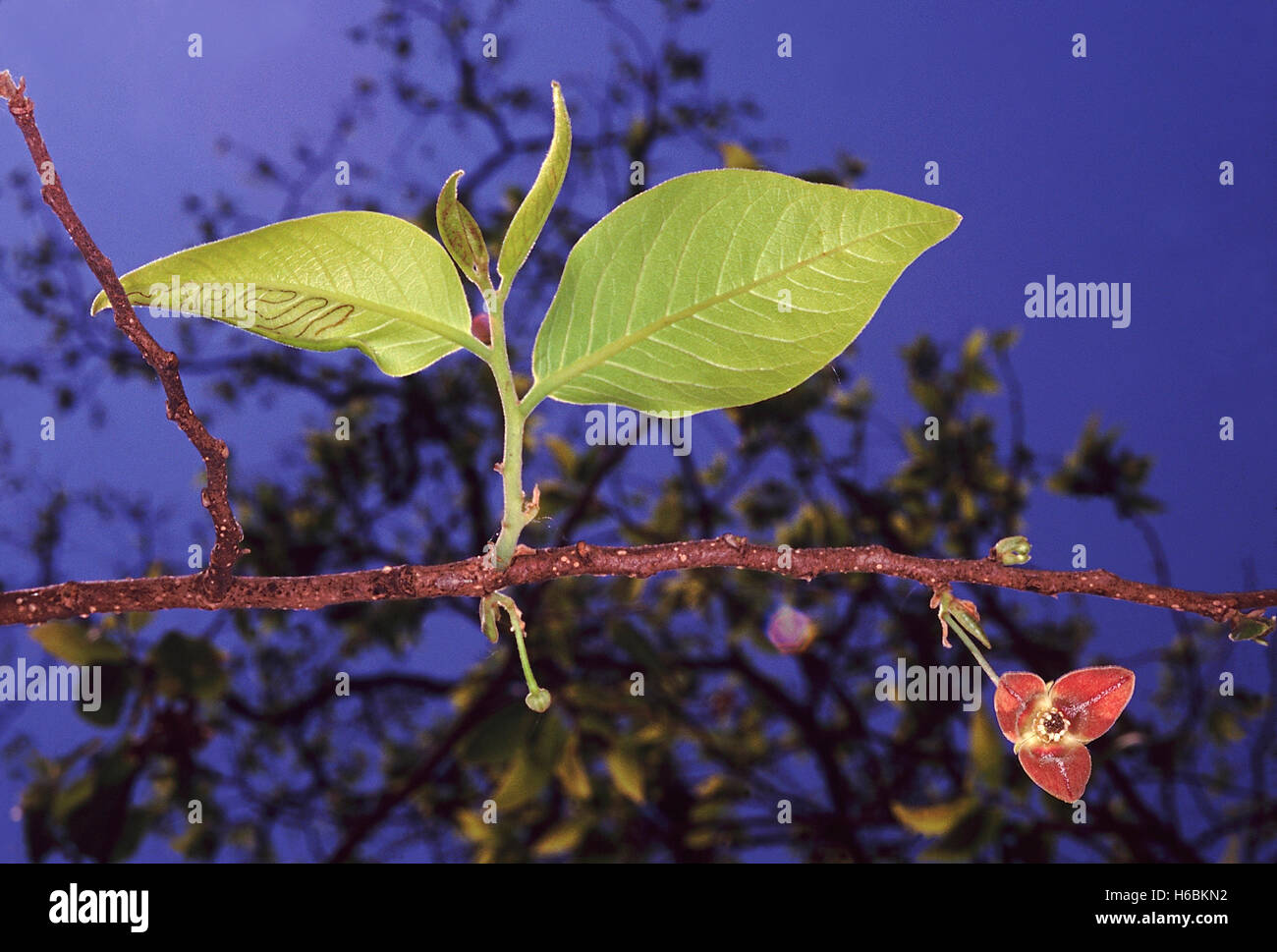 Leaves and flower. Miliusa Tomentosa. Family: Annonaceae. A large deciduous tree with aromatic leaves and strong - Stock Image