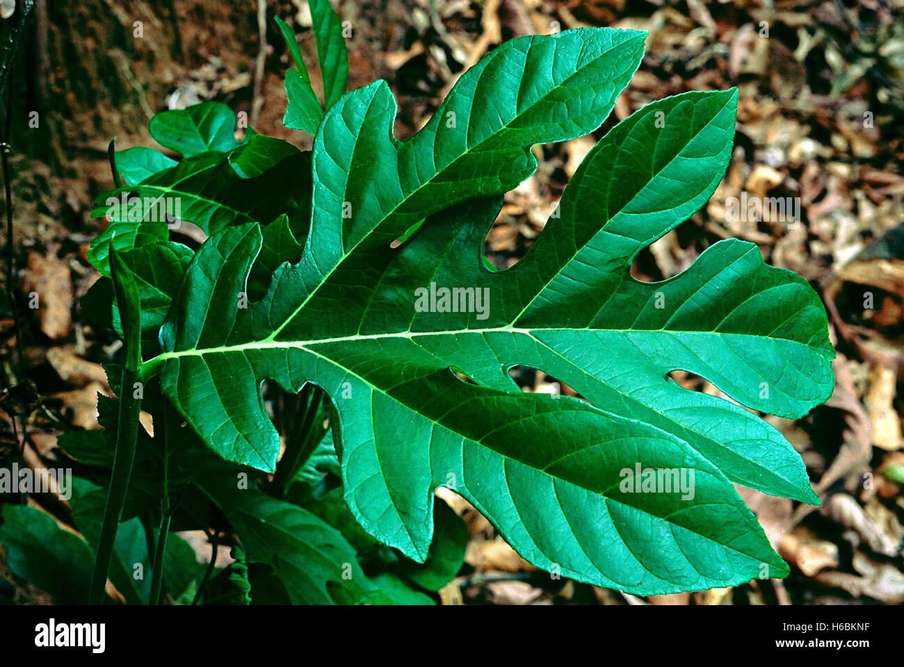 Leaf. Artocarpus sp. Family: Moraceae. A kind of wild Jack-fruit tree. The leaves of the saplings are large. The - Stock Image