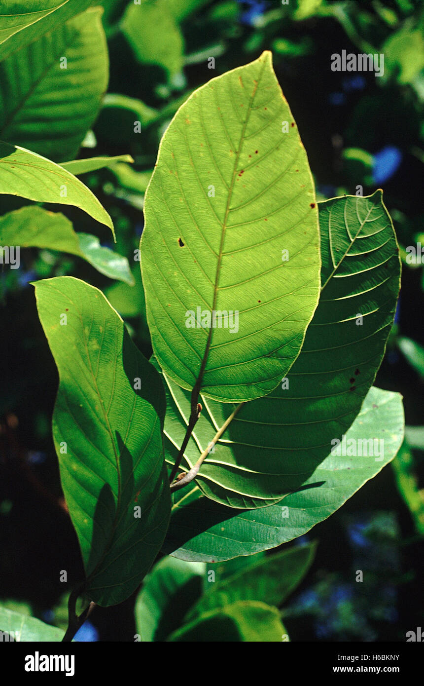 Leaves. Shorea Robusta. Family: Dipterocarpaceae. Sal tree. A large tree which forms the main component of the Sal - Stock Image