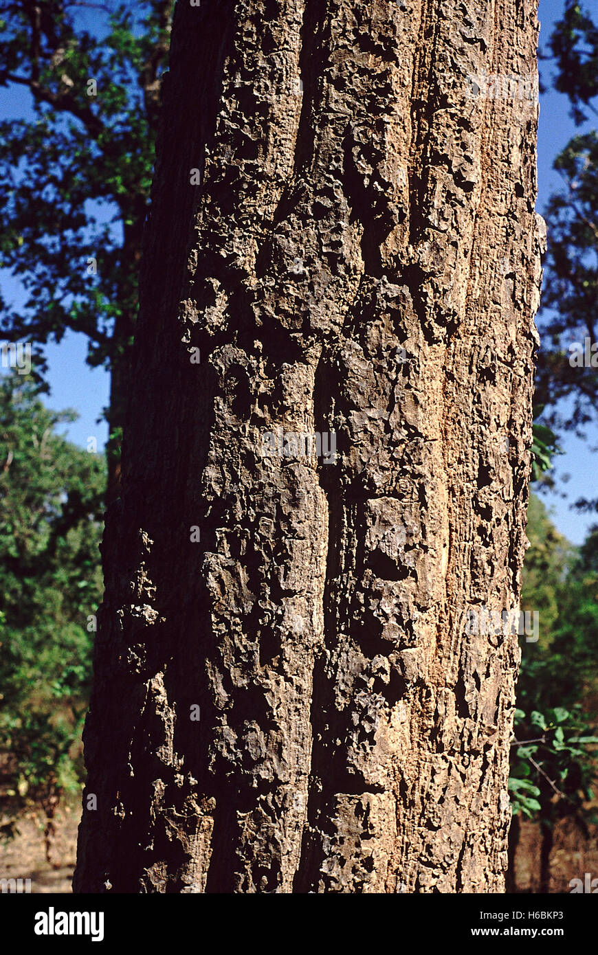 Bark. Shorea Robusta. Family: Dipterocarpaceae. Sal tree. A large tree which forms the main component of the Sal - Stock Image