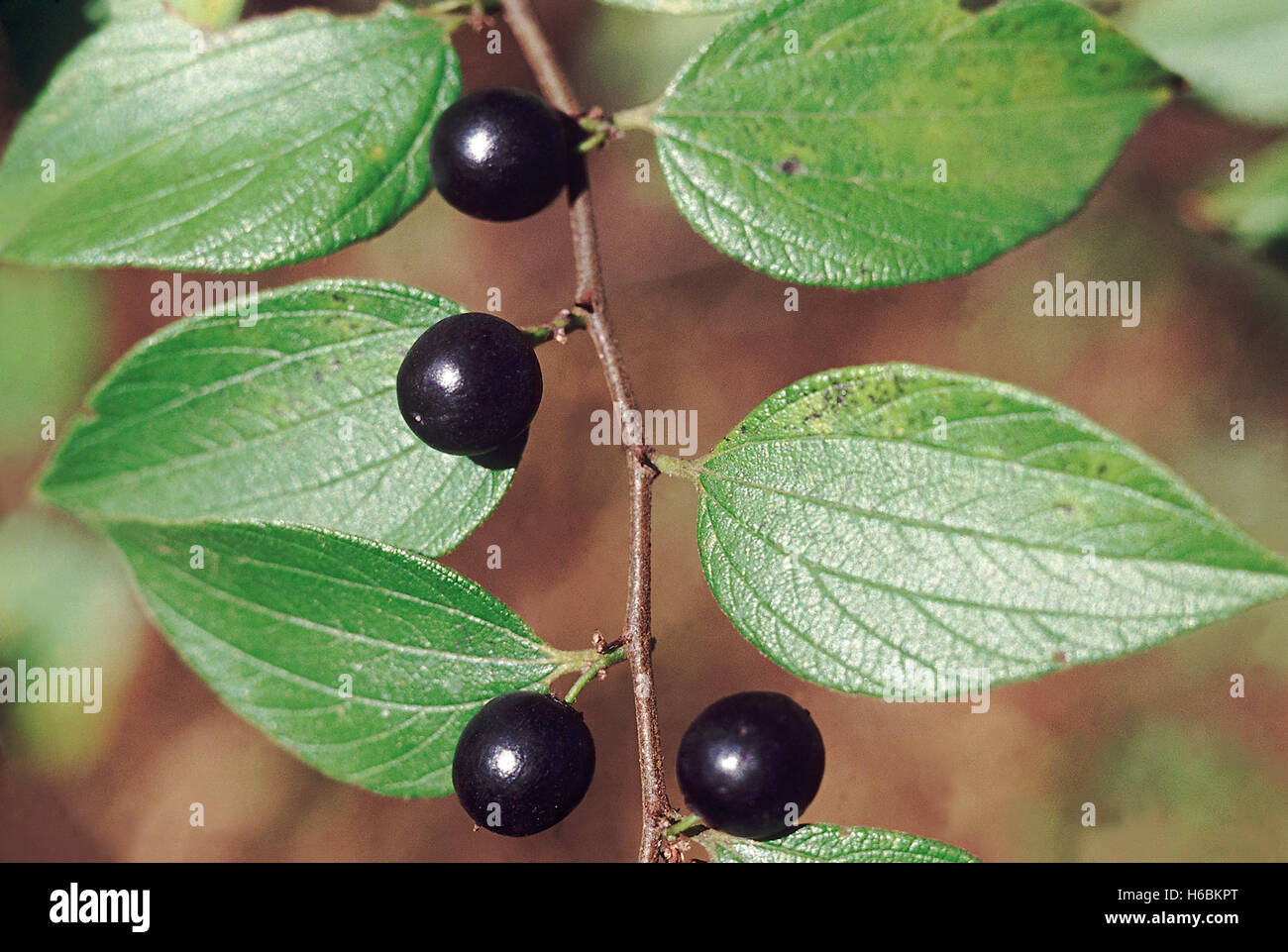 Zizyphus Oenoplia. Family: Rhamnaceae. A large rambling shrub with small edible fruit which is the staple diet of - Stock Image